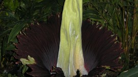 Amorphophallus Wallpaper Download Free