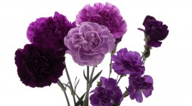 Carnation Purple Desktop Wallpaper HD
