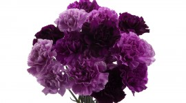 Carnation Purple Wallpaper High Definition