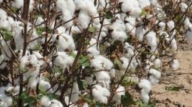 Cotton Desktop Wallpaper HD
