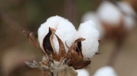 Cotton Wallpaper Background