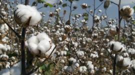 Cotton Wallpaper Download Free