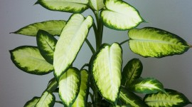Dieffenbachia Wallpaper For IPhone Download