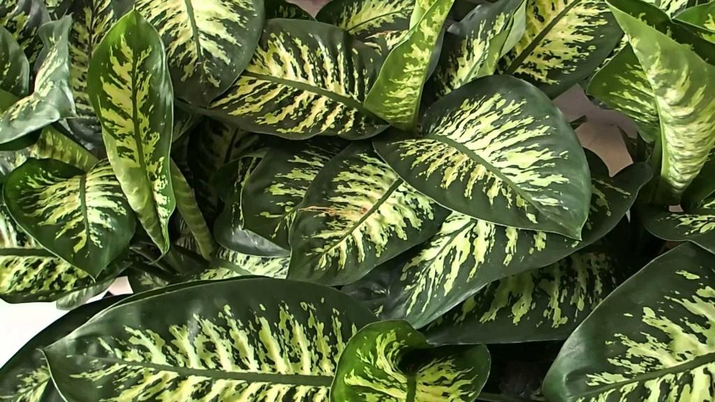 Dieffenbachia wallpapers HD