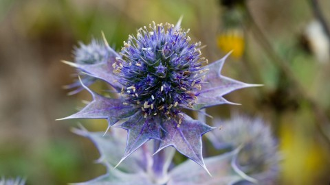 Eryngium wallpapers high quality