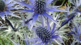 Eryngium Wallpaper For IPhone Free