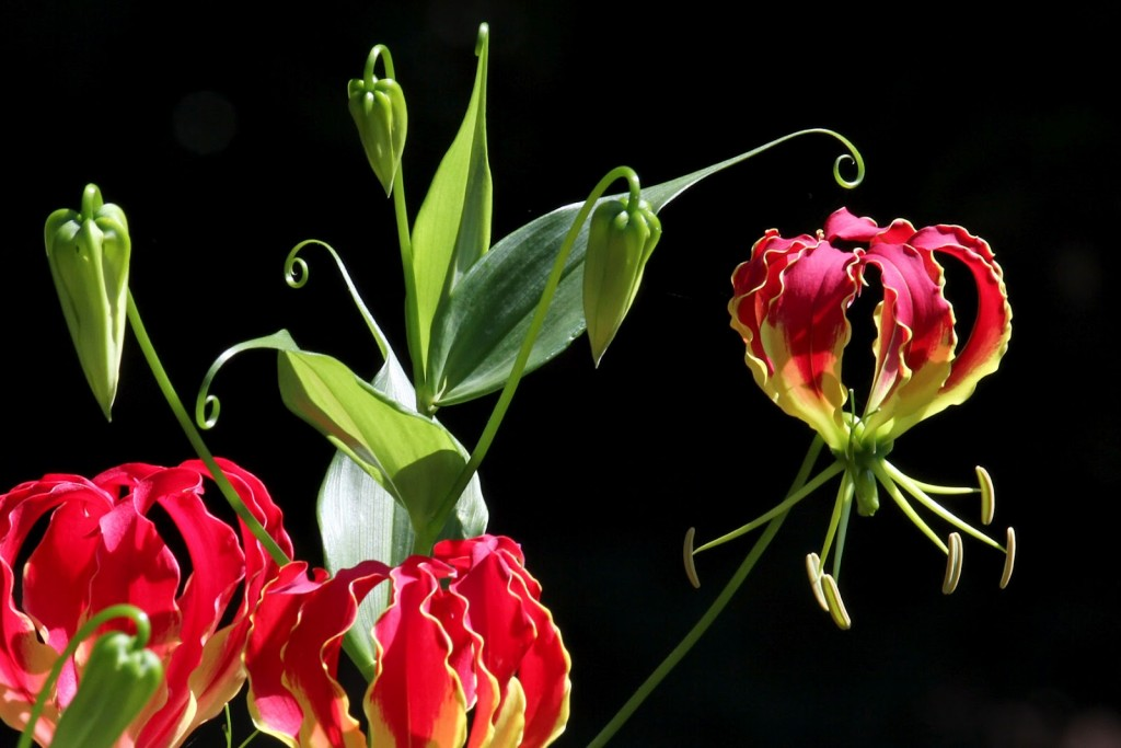 Gloriosa wallpapers HD