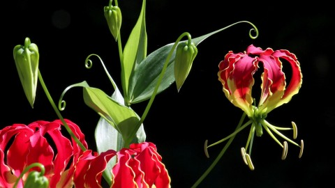 Gloriosa wallpapers high quality