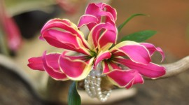 Gloriosa Wallpaper Download Free