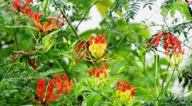 Gloriosa Wallpaper Free