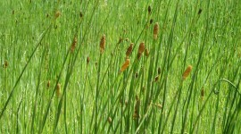 Horsetail Wallpaper Free