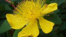 Hypericum Desktop Wallpaper
