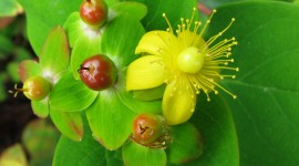 Hypericum High Quality Wallpaper