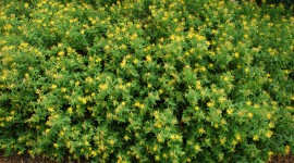 Hypericum Wallpaper Background