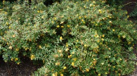 Hypericum Wallpaper Download