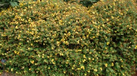 Hypericum Wallpaper For Desktop