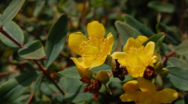 Hypericum Wallpaper For PC