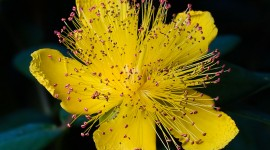 Hypericum Wallpaper HD