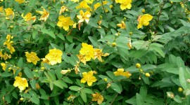Hypericum Wallpaper High Definition