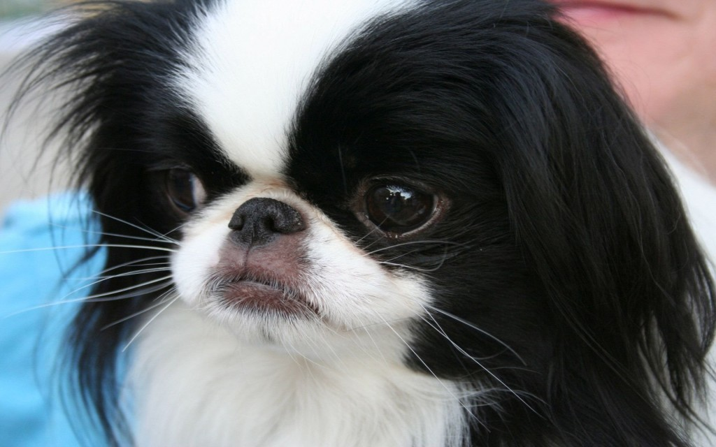 Japanese Chin wallpapers HD