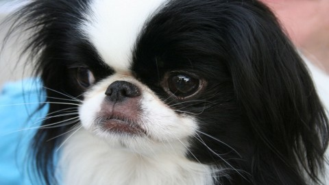 Japanese Chin wallpapers high quality