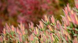 Leucadendron Wallpaper 1080p