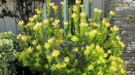 Leucadendron Wallpaper