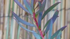 Leucadendron Wallpaper For IPhone
