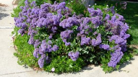 Limonium Best Wallpaper