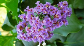 Limonium High Quality Wallpaper