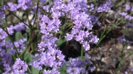 Limonium Wallpaper 1080p