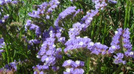 Limonium Wallpaper