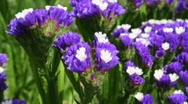 Limonium Wallpaper Background