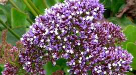 Limonium Wallpaper Download Free