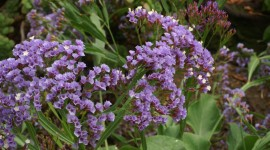Limonium Wallpaper For Desktop
