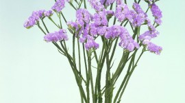Limonium Wallpaper For IPhone 6
