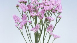 Limonium Wallpaper For IPhone 6 Download