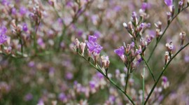 Limonium Wallpaper For PC
