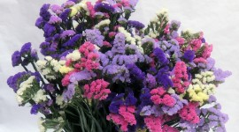Limonium Wallpaper Free