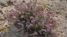 Limonium Wallpaper Full HD