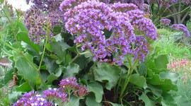 Limonium Wallpaper Gallery
