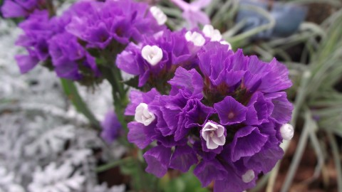 Limonium wallpapers high quality