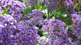 Limonium Wallpaper High Definition