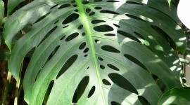 Monstera Wallpaper For IPhone