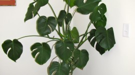Monstera Wallpaper For IPhone Free