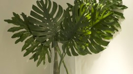 Monstera Wallpaper Full HD