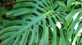 Monstera Wallpaper HQ