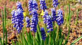 Muscari Best Wallpaper
