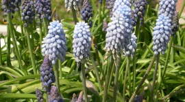 Muscari High Quality Wallpaper