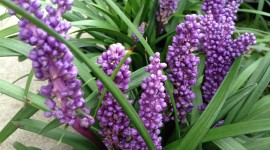 Muscari Wallpaper 1080p